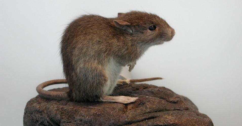 """30.set.2013 - Nova pesquisa mostra que a base da proteína da dieta dos nativos da Ilha de Páscoa vinha do rato-do-Pacífico (""""Rattus exulans""""), e não de frutos do mar como os cientistas acreditavam antes. O grupo da Universidade Estadual do Idaho, nos EUA, chegaram à conclusão após analisar vestígios de nitrogênio e isótopo de carbono contidos nas arcadas dentárias de 41 cadáveres coletados na ilha isolada do oceano Pacífico"""