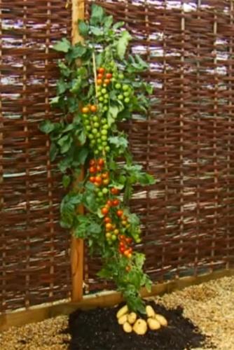 30.set.2013 - O TomTato, vegetal híbrido que produz simultaneamente tomate e batata, foi desenvolvido a partir de técnica conhecida como enxertia