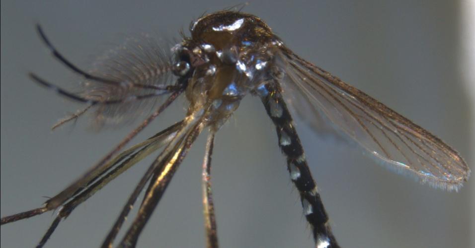 """1º.out.2013 - Cientistas do Instituto de Pesquisas e Desenvolvimento da França anunciou uma nova espécie de mosquito encontrada na ilha de Mayotte, departamento francês localizado no oceano Índico perto da África. Batizado de """"Stegomyia pia"""",  o inseto recém-descoberto pode ser um potencial transmissor de doenças, como o vírus da dengue e o arbovírus Chikungunya"""