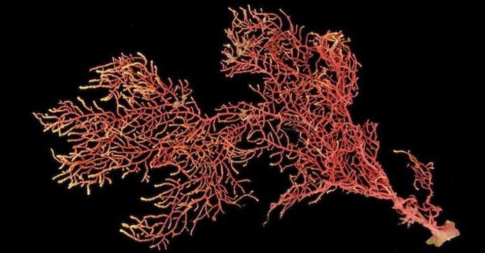 """1º.out.2013 - Hector Guzman, cientista do Instituto de Pesquisas Tropicais do Smithsonian, dos Estados Unidos, descobriu uma nova espécie de coral na sua primeira expedição submarina no Panamá. Com galhos bastante ramificados e de uma intensa coloração rosa, o """"Eugorgia siedenburgae"""" cresce no fundo do mar da Ilha de Coiba, no oceano Pacífico, perto da costa do país da América Central, chegando a ter até 12 metros de comprimento. A coleta de 15 exemplares ocorreu em março 2012, mas só agora, em outubro de 2013, que o coral foi nomeada e classificado como nova espécie"""