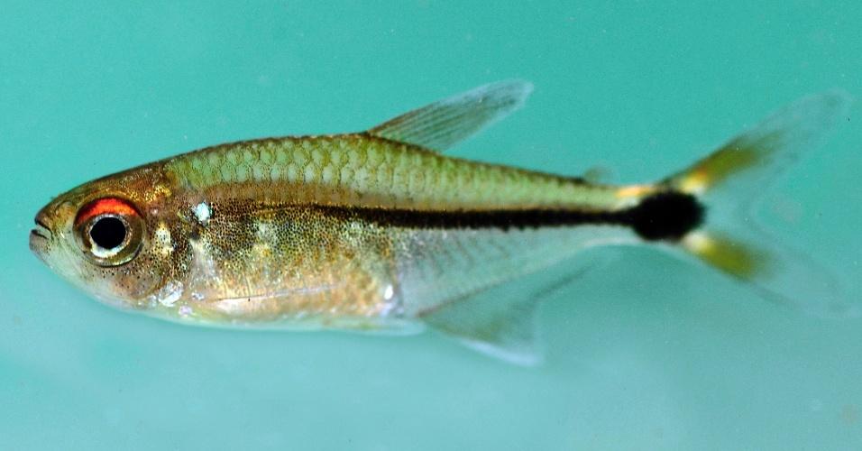 """4.out.2013 - Expedição da Conservação Internacional no Suriname encontrou 60 espécies de animais desconhecidas, entre elas 11 peixes, seis répteis, uma cobra e dezenas de insetos. Para documentar os peixes, como o """"Hemigrammus"""" acima, os biólogos da organização remaram com índios pelo rio Palumeu"""