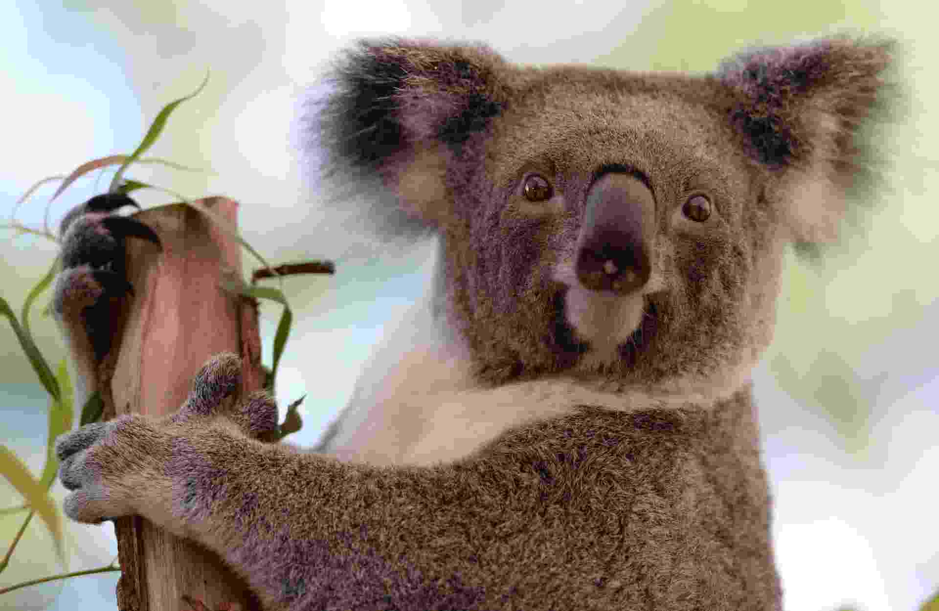 4.out.2013 - Símbolo do país, o coala corre risco de desaparecer com a escalada da temperatura na Austrália, mostra estudo da Universidade de Sydney. As árvores grandes e maduras com folhagens densas são fundamentais para sua sobrevivência, pois, em eventos de extremo calor durante o dia, o marsupial tende a escalar essas árvores maiores para se refrescar. O problema, dizem os estudiosos, é que o calor pode causar grandes incêndios florestais e destruir esses abrigos dos animais - Greg Wood/AFP