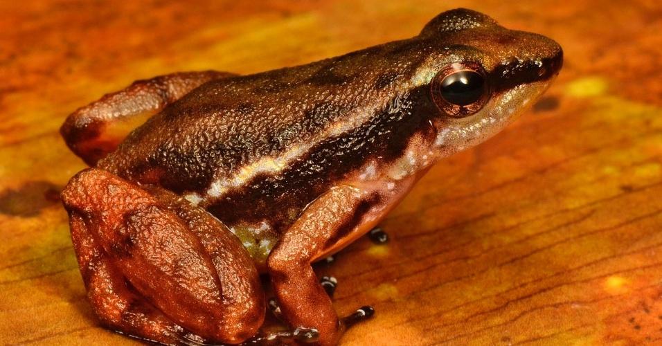 """4.out.2013 - Expedição da Conservação Internacional no Suriname encontrou 60 espécies de animais desconhecidas, entre elas 11 peixes, seis répteis, uma cobra e dezenas de insetos. Esta rã peçonhenta do gênero """"Anomaloglossus"""" é um pouco diferente de outras espécies da região"""