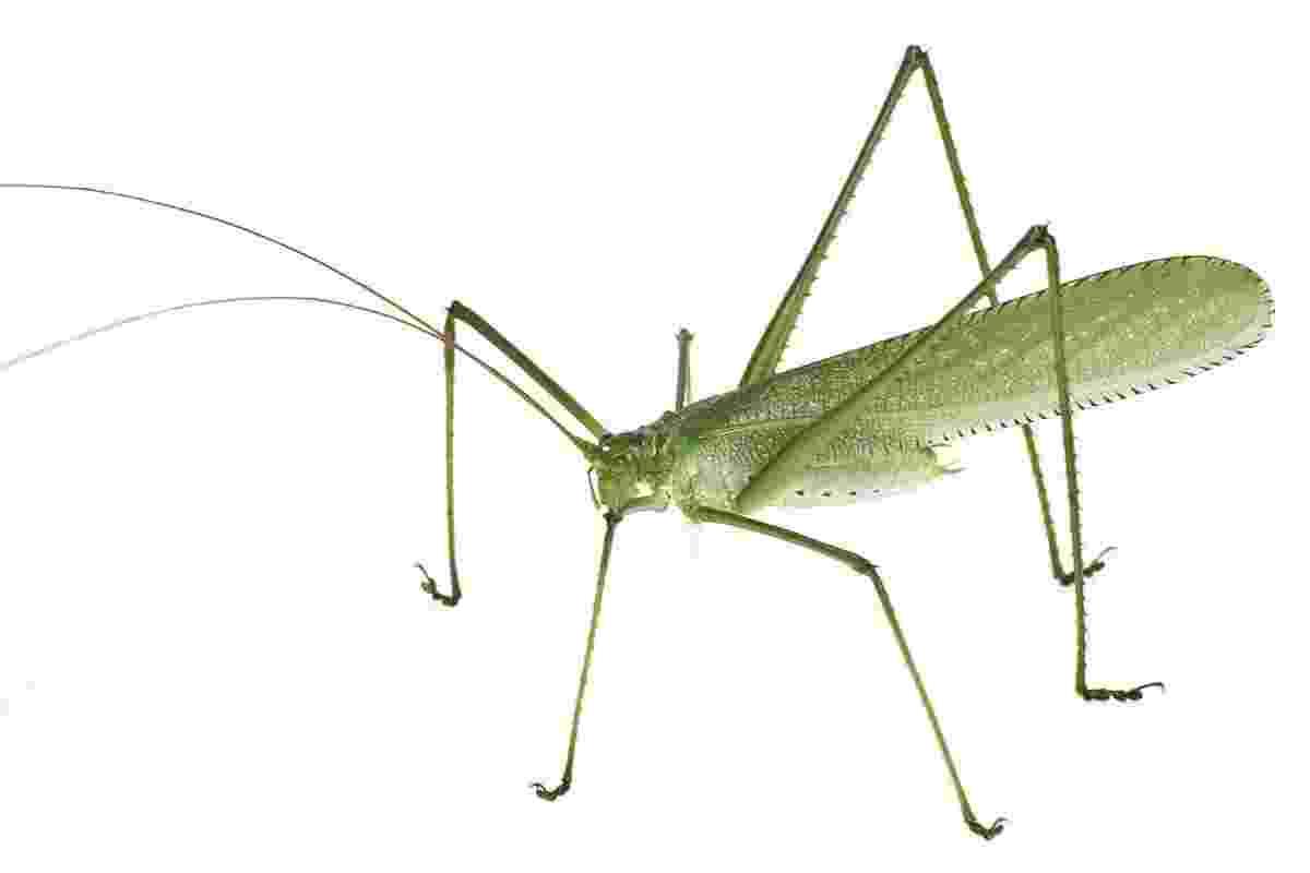 """4.out.2013 - Expedição da Conservação Internacional no Suriname encontrou 60 espécies de animais desconhecidas, entre elas 11 peixes, seis réptis, uma cobra e dezenas de insetos. O """"Pseudophyllinae teleutini"""" (foto) foi considerado um inseto tão incomum pelo grupo que pode representar um gênero completamente novo - Piotr Naskrecki/CI"""