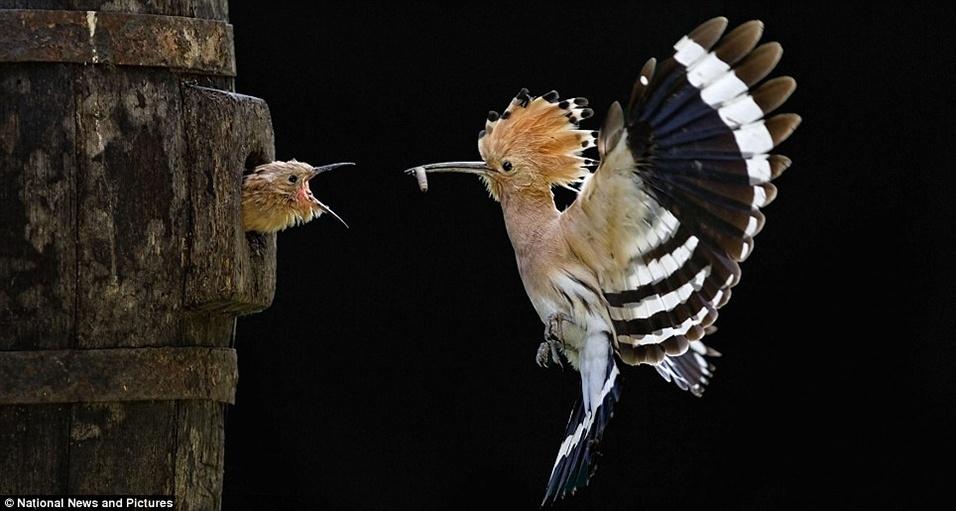 "7.out.2013 - A ave poupa-eurasiática (""Upupa epops"") alimenta filhote com larva"