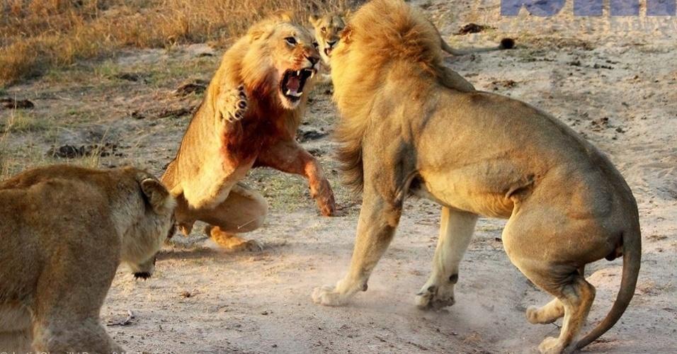 7.out.2013 - Dois leões brigam por território na reserva natural de Cheetah Plains, na África do Sul