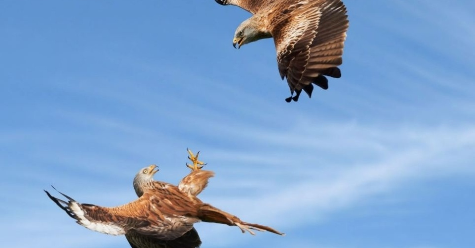 7.out.2013 - Duas aves de rapina travam disputa em pleno céu de Oxfordshire, na Inglaterra