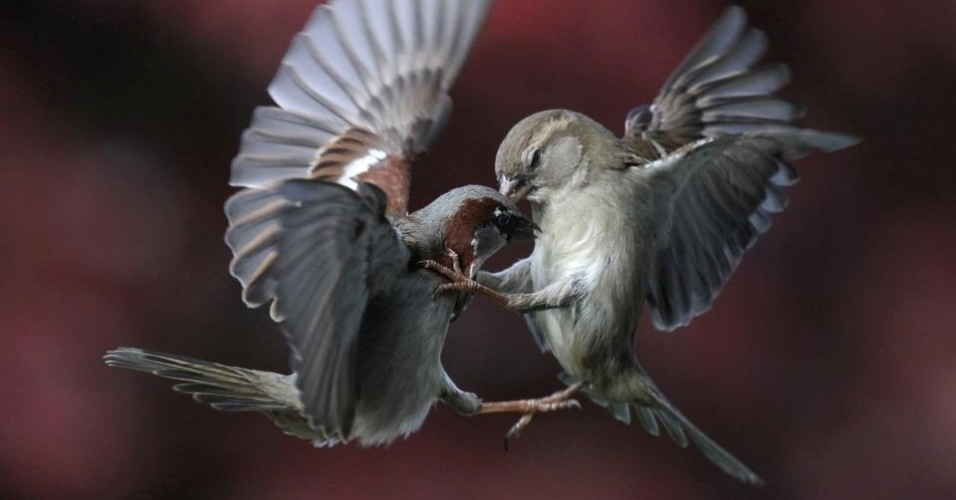 Pardais se bicam em luta registrada por fotógrafo no quintal de sua casa em Sherz, na Suíça