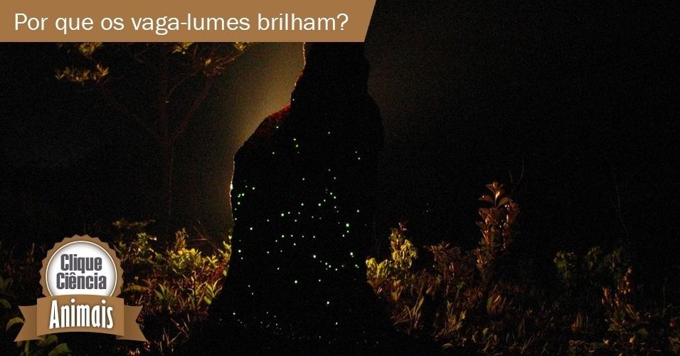 8.out.2013 - clique ciência- Como o vaga-lume emite a sua luz? Para que ela serve?