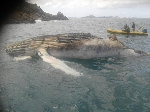 9.out.2013 - Uma baleia jubarte adulta foi encontrada morta na Prainha, em Arraial do Cabo, na Região dos Lagos do Rio de Janeiro. A Guarda Marítima da cidade recebeu uma denúncia de que no local havia uma embarcação virada, mas, ao averiguar a notificação encontrou o animal com tamanho de 8 a 10 metros