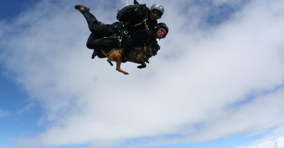 9.out.2013 - Um cachorro saltou de paraquedas durante uma operação da Brigada Paraquedista do Exército em Resende (RJ). Chivunck, cão pastor belga malinois tem um ano, começou a ser treinado para saltar aos quatro meses e pulou de uma altura de aproximadamente 4.000 metros. Ele já tinha realizado um salto antes, mas do tipo semiautomático, quando a abertura do paraquedas é feita por um gancho preso à aeronave. Desta vez, a abertura foi em pleno voo