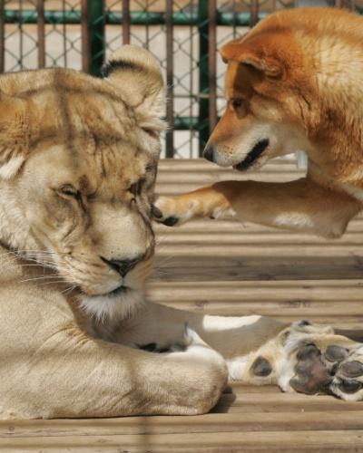 20.mar.2006 - Cachorro brinca com leoa no zoológico de Chinhae, a 400 km de Seul, na Coreia do Sul. A leoa de 10 anos de idade e o cão de 5 vivem juntos na mesma jaula desde de 2012