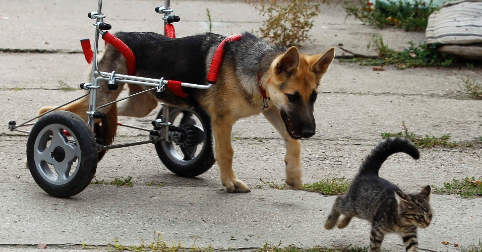 26.ago.2011 - Gato de quatro meses de idade brinca com cão em cadeira de rodas em abrigo de animais abandonados em Piotrkow Trybunalski, na Polônia