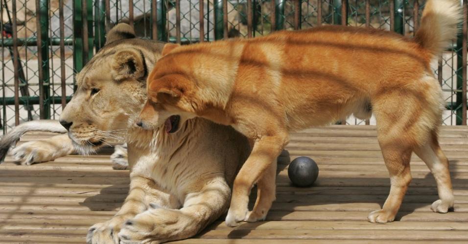 Cachorro brinca com leoa no zoológico de Chinhae, a 400 km de Seul, na Coreia do Sul. A leoa de 10 anos de idade e o cão de 5 vivem juntos na mesma jaula desde de 2012