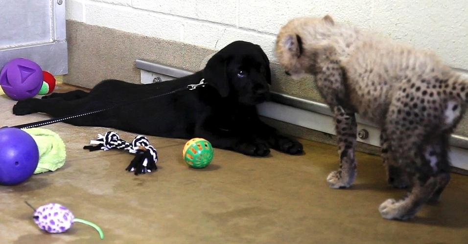 Filhote de guepardo interage com filhote de cão da raça labrador no Zoológico de Dallas, no Texas. O encontro foi promovido por funcionários do zoológico que acreditam que amizade do cãozinho pode acalmar os instintos do guepardo até chegar à idade adulta
