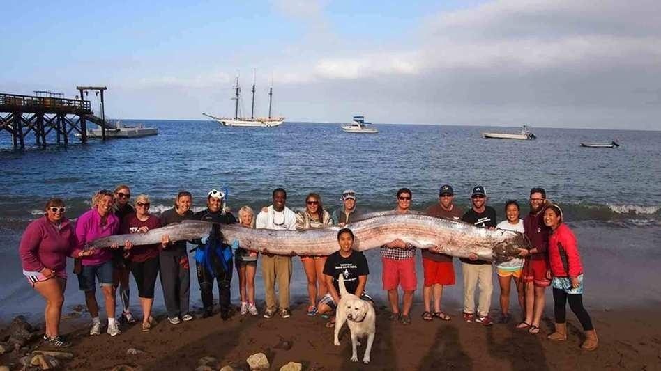 15.out.2013-  Uma nadadora encontrou este oarfish gigante (Regalecus glesne), ou peixe-remo como é conhecido, de 5,5 metros morto na Toyon Bay, na costa da Califórnia.