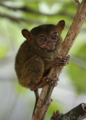 17.out.2013 - Macaco tarsier, uma das menores espécies de primatas do mundo, abraça um galho após ter sido evacuado para um centro de conservação de animais na cidade turística de Lobok, na província de Bohol, nas Filipinas, que foi atingida por um terremoto de magnitude 7,1, na terça-feira (15), matando mais de 150 pessoas
