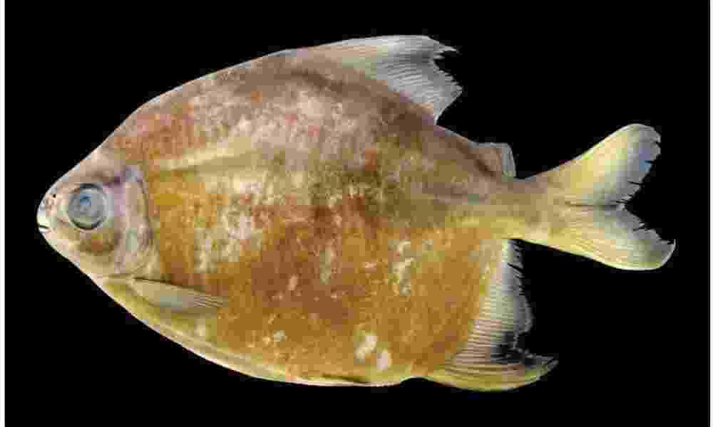"""23.out.2013 - A piranha """"vegetariana"""" é encontrada nas águas da bacia do rio Trombetas, no Brasil. A espécie """"Tometes camunani"""" se alimenta apenas de algas, afirma pesquisadores da WWF - Tommaso Giarrizzo/WWF"""