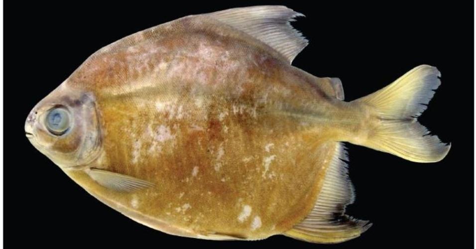 """23.out.2013 - A piranha """"vegetariana"""" é encontrada nas águas da bacia do rio Trombetas, no Brasil. A espécie """"Tometes camunani"""" se alimenta apenas de algas, afirma pesquisadores da WWF"""