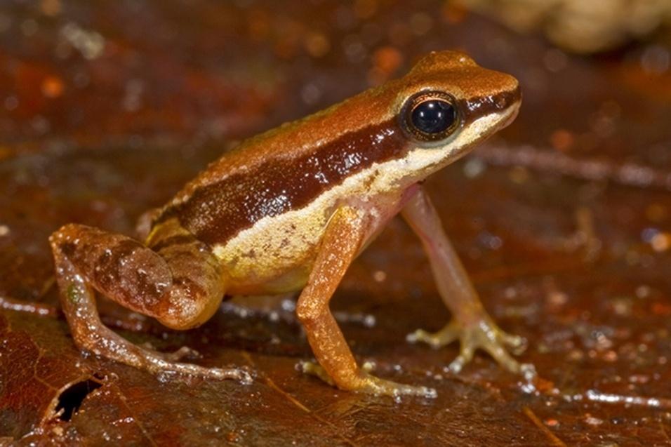 """23.out.2013 - Apesar de ter sido descoberta recentemente, essa rã do tamanho de uma unha de polegar é considerada uma espécie muito ameaçada de extinção. O nome científico (""""Allobates amissibilis"""") significa """"que pode ser perdida"""". Esta é a terceira espécie Allobates encontrada na Guiana"""