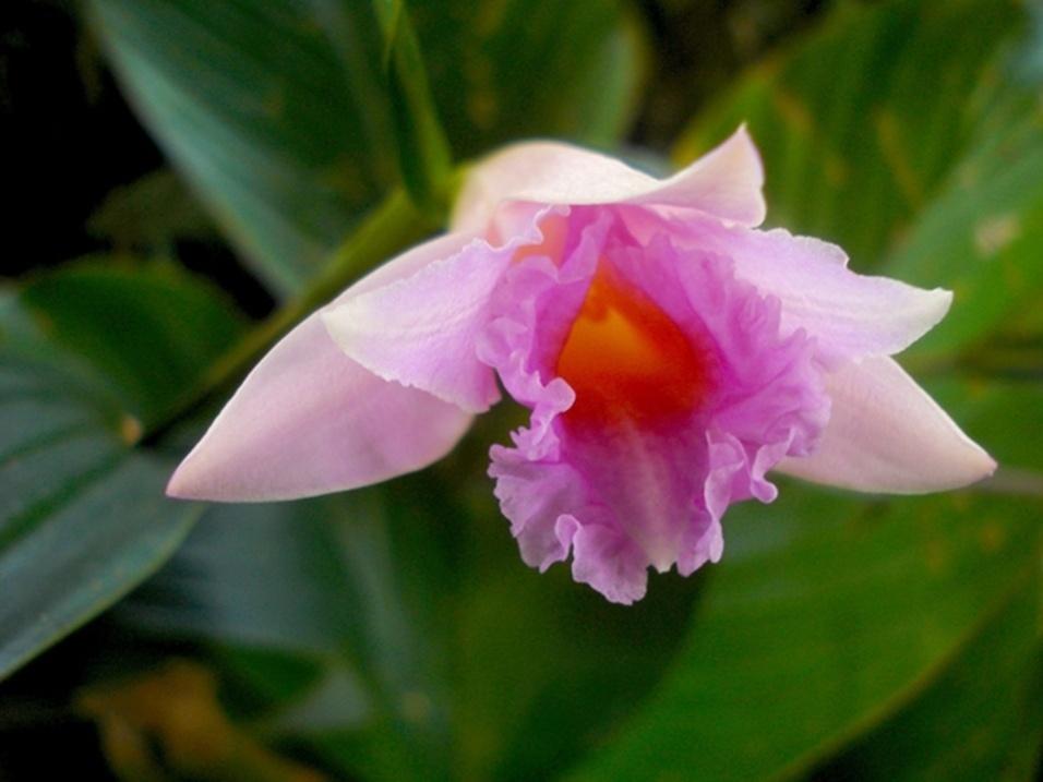 """23.out.2013 - Essa flor cor-de-rosa (""""Sobralia imavieirae"""") é uma das 45 novas espécies de orquídeas recém-descobertas. A Amazônia já era conhecida por abrigar um alto número de espécies florísticas e essa última dádiva botânica realçou ainda mais a reputação mundial da região pela sua diversidade de plantas"""