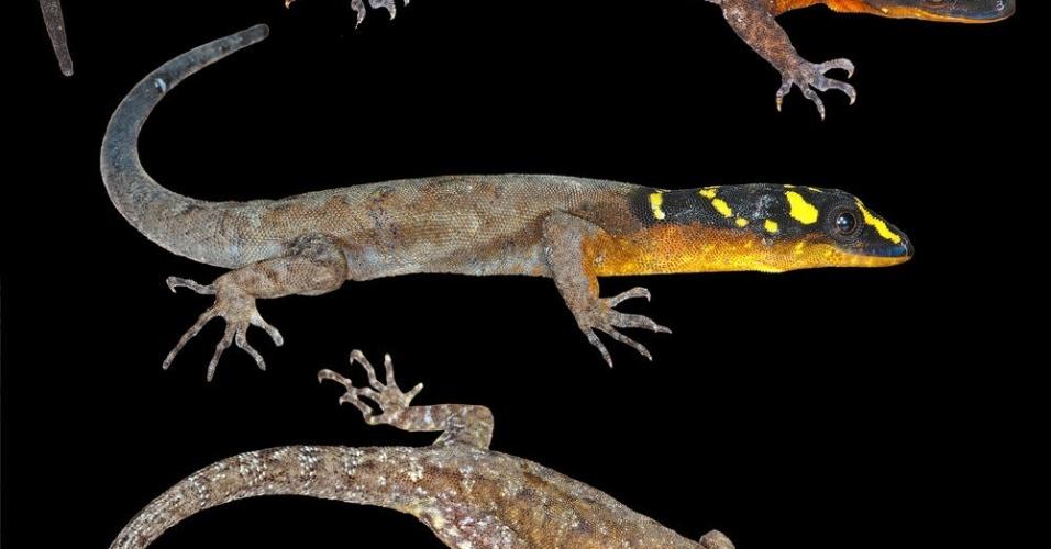 """23.out.2013 - Esta espécie de lagarto foi descoberta na Amazônia que se estende até a Guiana. A superfície da cabeça do animal é preto com listras irregulares azuis e fortes manchas amarelas. Apesar da coloração vibrante, o lagarto não gosta de ser visto e escapa por entre as rochas, característica que garantiu seu nome científico: """"Gonatodes timidus"""""""