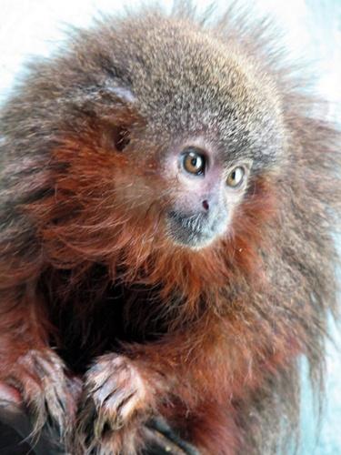 """23.out.2013 - O zogue-zogue Caqueta titi (""""Callicebus caquetensis"""") é uma das 20 espécies existentes desse tipo de macaco que vive na Amazônia. Os bebês dessa espécie apresentam uma característica cativante: """"quando estão satisfeitos, eles ronronam um para o outro"""", explica o cientista Thomas Defler"""