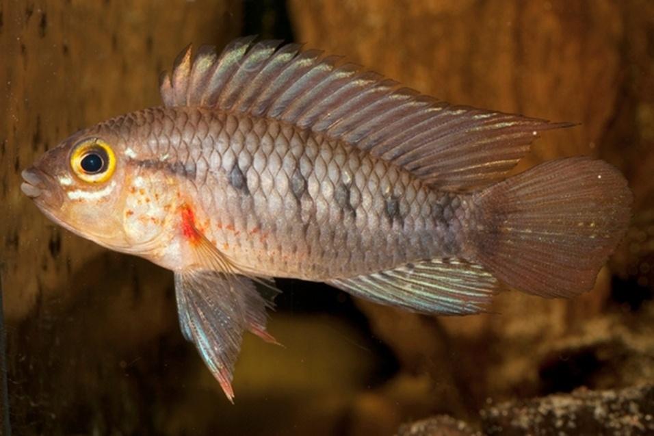 """Esta nova espécie de peixe, denominada """"Apistogramma cinilabra"""", está adaptada a níveis extremamente baixos de oxigênio. Esse peixe não foi encontrado em nenhum outro lugar do planeta e ela é considerada única de um lago na região de Loreto, no Amazônia peruana"""