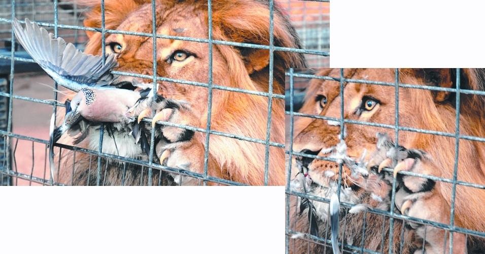 """24.out.2013 - Uma bomba se salvou por pouco de virar comida para um leão no zoológico de Adelaide, na Austrália. A ave voou de encontro à jaula do felino, que não bobeou e a pegou com os dentes. Mas as grades estavam atrapalhando um pouco a mordida, então o leão foi dar uma """"ajeitadinha"""". A pomba aproveitou e fugiu, deixando o leão com a cara triste que você vê no canto inferior à direita da imagem"""