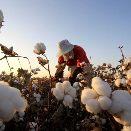 27.out.2013 - Trabalhador colhe algodão em um parque da cidade de Hami, no nordeste da China - Cai Zengle/Xinhua