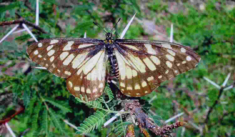 """28.out.2013 - A borboleta """"Baronia brevicornis""""  está sob ameaça de extinção por causa da agricultura, do desmatamento e da poluição na região central do México, advertiram especialistas durante o fórum Green Solutions 2013, ocorrido em outubro de 2013. A espécie, que conviveu com os dinossauros há 70 milhões de anos, é considerada a mais antiga entre as borboletas do mundo - AFP"""