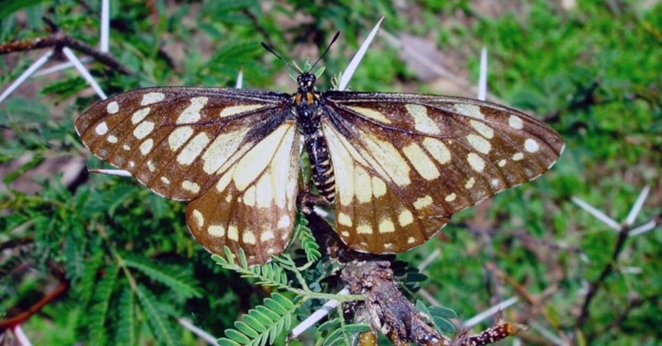 """28.out.2013 - A borboleta """"Baronia brevicornis""""  está sob ameaça de extinção por causa da agricultura, do desmatamento e da poluição na região central do México, advertiram especialistas durante o fórum Green Solutions 2013, ocorrido em outubro de 2013. A espécie, que conviveu com os dinossauros há 70 milhões de anos, é considerada a mais antiga entre as borboletas do mundo"""