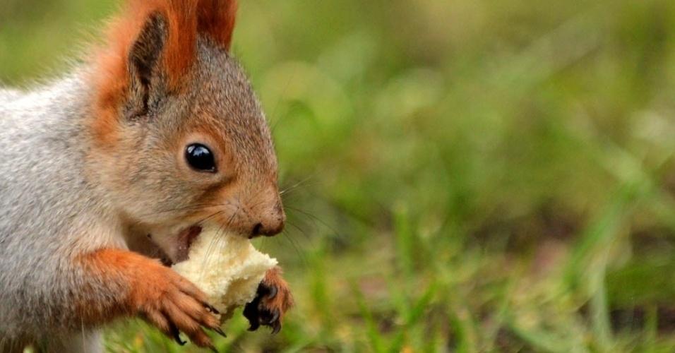 31.out.2013 - Esquilo come pedaço de pão em parque de Moscou, nesta quinta-feira (31). As temperaturas na capital russa alcançaram a marca de 7°C