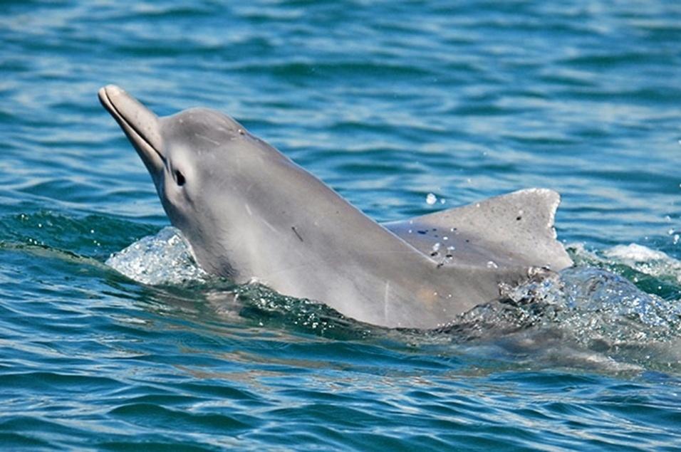 31.out.2013 - Pesquisadores da 'Wildlife Conservation Society' identificaram uma espécie desconhecida de golfinho-corcunda nadando na costa do Norte da Austrália, o que é considerado um passo importante nos esforços para a conservação dos mamíferos marinhos. Os golfinhos-corcundas são chamados assim por conta de uma corcova alongada que existe abaixo de sua barbatana dorsal, bastante característica da espécie