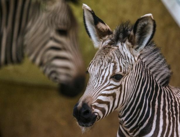 """31.out.2013 - Uma zebra recém-nascida é fotografada ao lado da mãe nesta quinta-feira (31), no zoológico de """"Parc de la Tete d'Or"""", em Lyon, na França"""