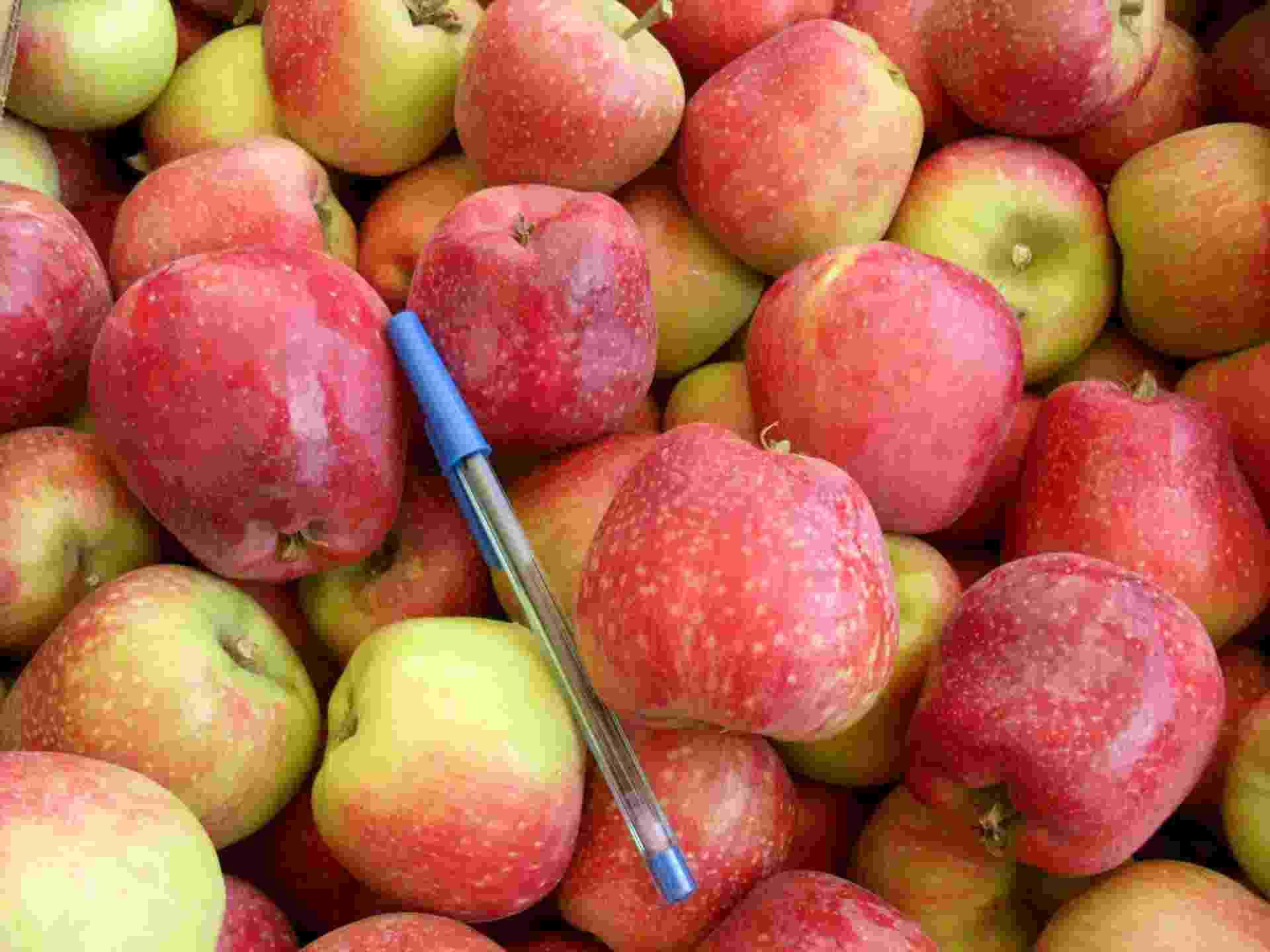 Em parceria com produtores, a Embrapa já colhe suas primeiras safras experimentais de maçã em cinco hectares no Nordeste. Por precisar de frio para se desenvolver, a fruta é cultivada geralmente no Sul do país, mas agora pesquisadores fazem adaptações para levar as macieiras também para estados como Ceará e Pernambuco. - Divulgação/Agropecuária Sem Fronteiras