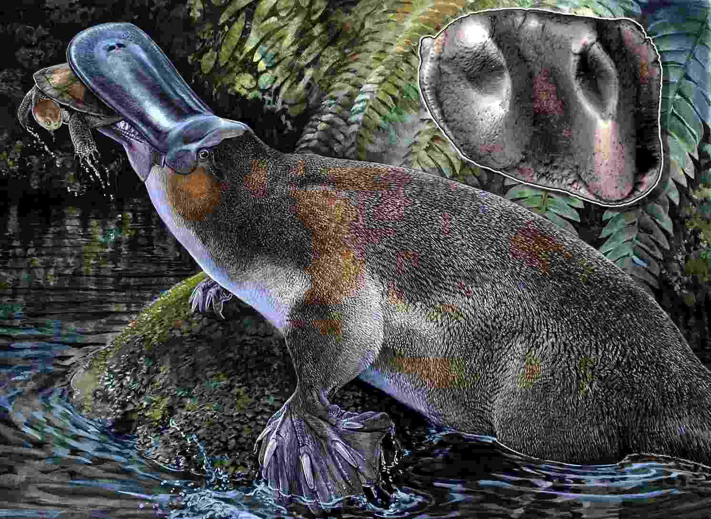 5.nov.2013 - Cientistas descobriram um fóssil no norte da Austrália que seria de um ornitorrinco carnívoro gigante, com um metro - EFE