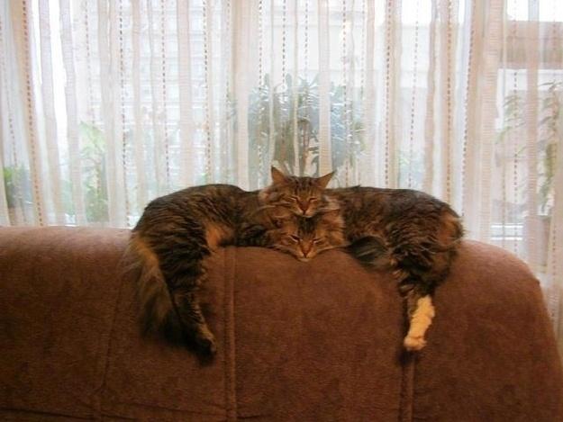 5.nov.2013 - Esses gatos não são siameses