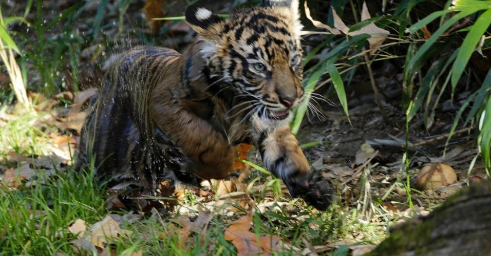 6.nov.2013 - Filhote de tigre-de-sumatra chamado Bandar corre para fora do fosso do Zoológico Nacional de Washington (EUA), após passar pelo teste de natação