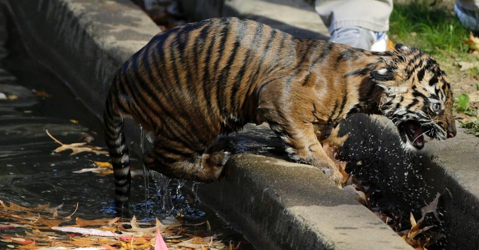 6.nov.2013 - Filhote de tigre-de-sumatra chamado Bandar rasteja para fora do fosso do Zoológico Nacional de Washington (EUA), após passar pelo teste de natação