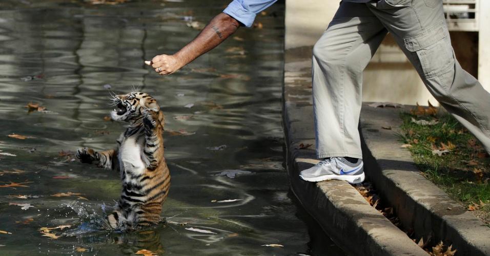 6.nov.2013 - Um tigre-de-sumatra chamado Bandar é colocado em um fosso no Zoológico Nacional de Washington (EUA) para fazer um teste de natação. Dois filhotes de tigre-de-sumatra nascidos em agosto foram testados provar que têm a capacidade de manter a cabeça acima da água, navegar na parte rasa do fosso e retornar à terra sem ajuda