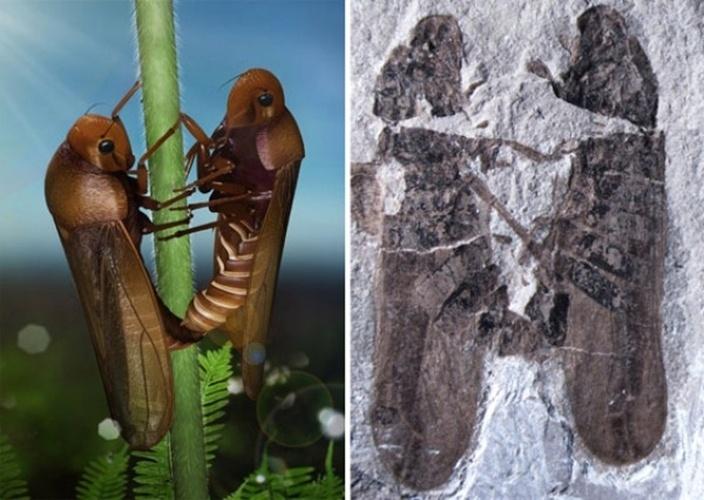 6.nov.2013 -Cientistas chineses descobriram o fóssil mais antigo conhecido de um casal de insetos pegos em plena cópula, revelou um estudo. O fóssil com o macho e a fêmea de cigarrinhas-da-espuma ('Philaenus spumarius'), deitados um de frente para o outro, foi escavado no nordeste da China. Acreditava-se que a peça tivesse 165 milhões de anos, destacou a pesquisa publicada no periódico Plos One