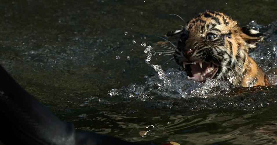 6.nov.2013 - Um tigre-de-sumatra chamado Bandar pratica natação em um fosso no Zoológico Nacional de Washington (EUA) nesta quarta-feira (6). Bandar está sendo treinado para a exibição de grandes felinos do zoo. Ele precisa conseguir manter a cabeça para fora da água, navegar na parte rasa do fosso e ter a força e a agilidade necessárias para voltar à terra firme sozinho