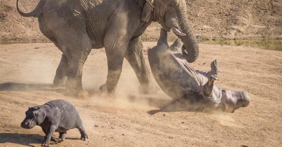 12.nov.2013 - Rian Van Schalkwyk passou férias com a família na reserva Erindi, na Namíbia, e viu este ataque de elefante a um rinoceronte. A mãe hipo foi salvar seu filhote do ataque do elefante enfurecido e na briga acabou sendo virada de ponta cabeça enquanto o filho fugia