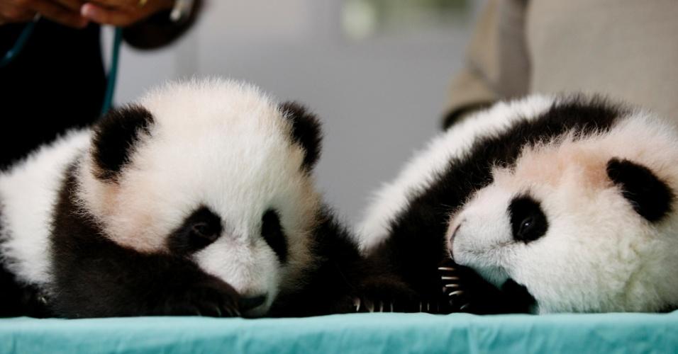 13.nov.2013 - Filhotes gêmeos de panda gigante