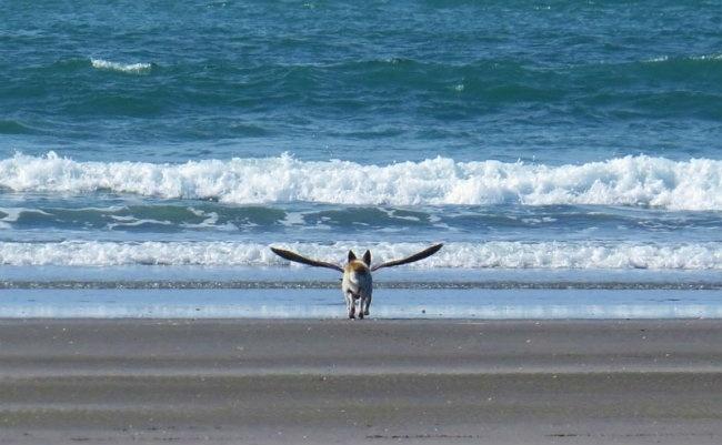 14.nov.2013 - Cão alado? Não é o que parece. A imagem registrou o exato momento em que uma gaivota voou na frente de um cachorro que corria em direção ao mar, em um dia ensolarado em uma praia na Nova Zelândia
