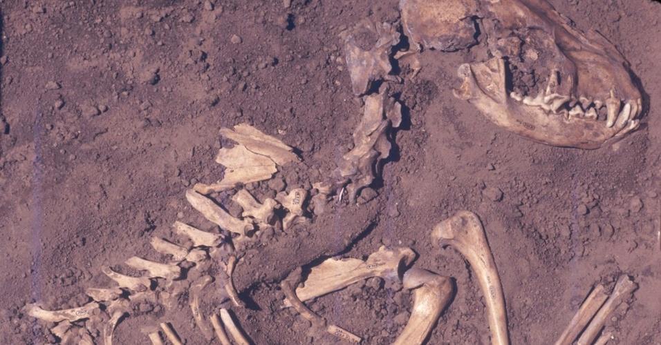 14.nov.2013-Cientistas fizeram a linha genealógica de cães, a partir do DNA de ossos caninos de 18 fósseis de mil anos encontrados em Illinois nos EUA e chegaram a conclusão de que eles descendem da Europa. Pelas conclusões do estudo publicado na Science, uma espécie de lobo cinza que ainda existe foi domesticada pelo homem há cerca de 20 a 30 mil anos