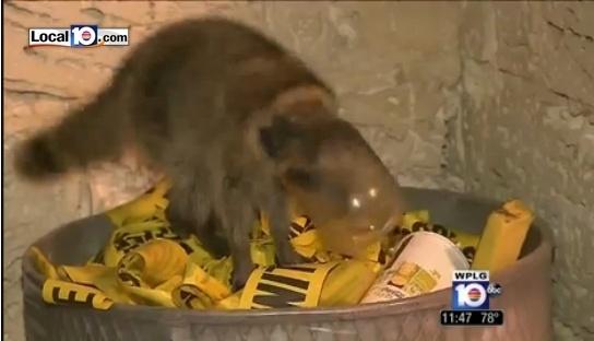 """19.nov.2013 - Guaxinim fica com cabeça entalada em pote de alimento durante """"banquete"""" em uma lata de lixo"""