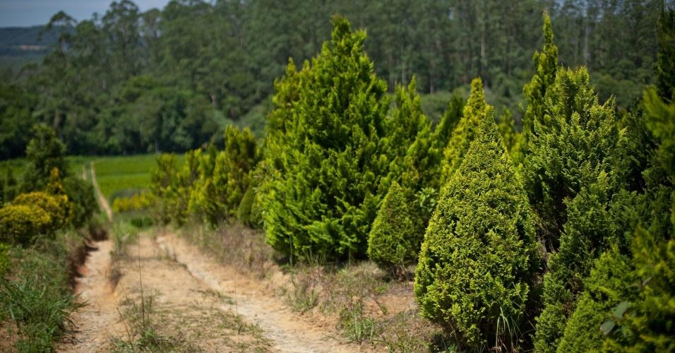 A poda é feita de forma a dar uma forma cônica e regular ao pinheiro. Ao fundo da imagem árvores que não passaram pela poda têm galhos que despontam de forma irregular. Os pinheiros do tipo tuia-limão são vendidos principalmente no final do ano