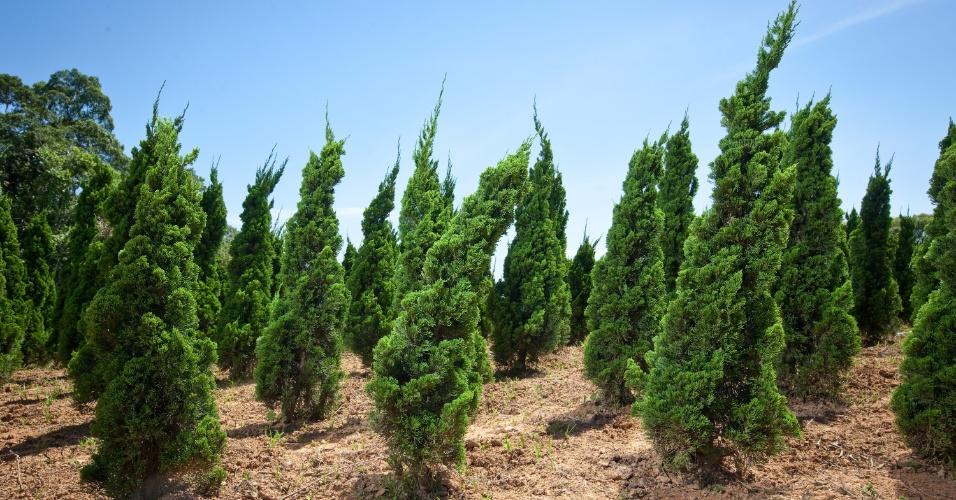 Além da tuia-limão que é vendida no natal, Maurício Bueno produz, por exemplo, a kaizuka, uma espécie de pinheiro ornamental. Vinte e dois funcionários trabalham na produção